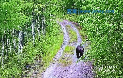 """内蒙古森林公安远程视频监控系统,拍摄到""""熊出没""""[彩图]"""